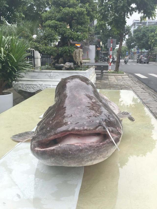 """Phát hoảng cá leo """"to chưa từng thấy"""" xuất hiện ở vùng đất Kinh Bắc - Ảnh 2."""