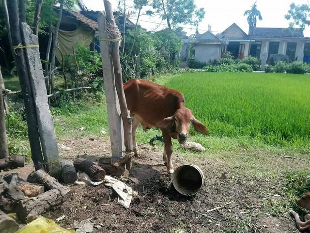 Thấy bò đi lạc vào vườn, dì cháu rủ nhau bắt đi bán - Ảnh 1.