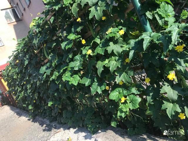 Mẹ đảm ở Czech cải tạo sân bê tông thành khu vườn với bạt ngàn rau củ quả Việt tươi tốt - Ảnh 26.