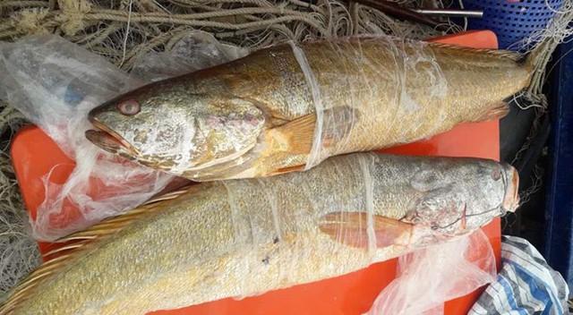 Ngư dân chưa chịu bán cặp cá sủ vàng nặng 70 kg với giá 70 triệu - Ảnh 1.