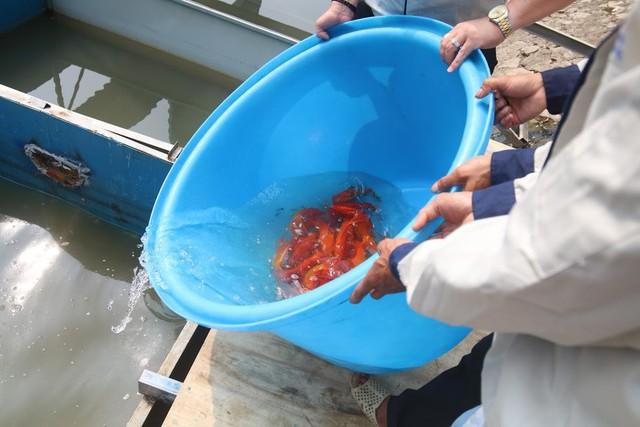 Hàng trăm con cá chép Nhật Bản bơi tung tăng, sống khỏe dưới sông Tô Lịch - Ảnh 4.