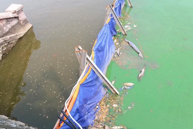 Hàng trăm con cá chép Nhật Bản bơi tung tăng, sống khỏe dưới sông Tô Lịch - Ảnh 6.