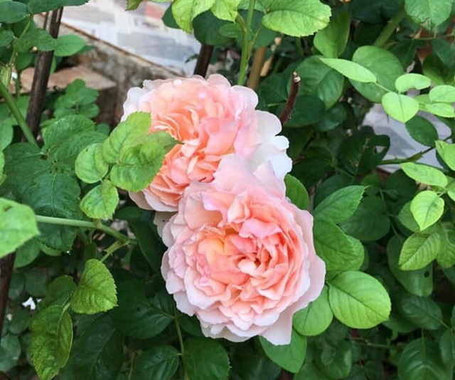 Nữ hoàng cảnh nóng Việt Nam để mặt mộc lộ rõ dấu hiệu tuổi tác đi chăm vườn cây 5000 m2 đầy hoa thơm - Ảnh 6.