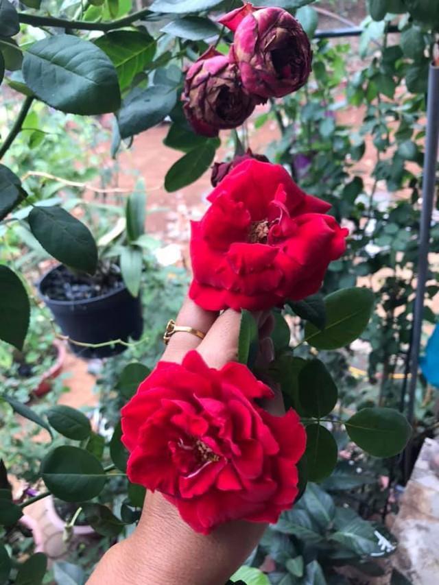 Nữ hoàng cảnh nóng Việt Nam để mặt mộc lộ rõ dấu hiệu tuổi tác đi chăm vườn cây 5000 m2 đầy hoa thơm - Ảnh 5.
