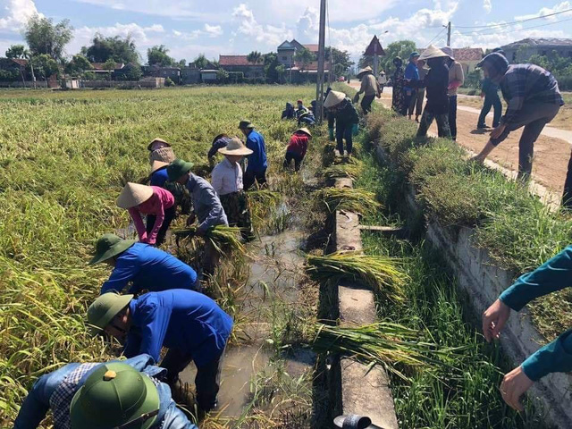 Hà Tĩnh: Hàng nghìn ha lúa vàng ươm gặt về chỉ để... chăn nuôi - Ảnh 1.
