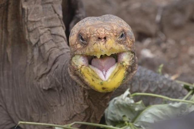 Cụ rùa 'sát gái', quan hệ khắp nơi cứu cả loài khỏi tuyệt chủng - Ảnh 1.