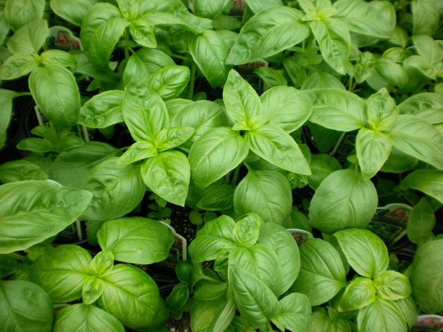 Không cần dùng thuốc xịt độc hại, đám côn trùng sẽ chẳng dám bén mảng vào nhà nếu trồng 5 loài cây này quanh nhà - Ảnh 3.