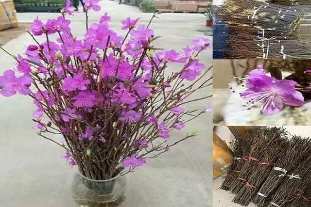 5 loại hoa Tết đẹp nhưng cực độc, cần cảnh giác cao độ - Ảnh 5.