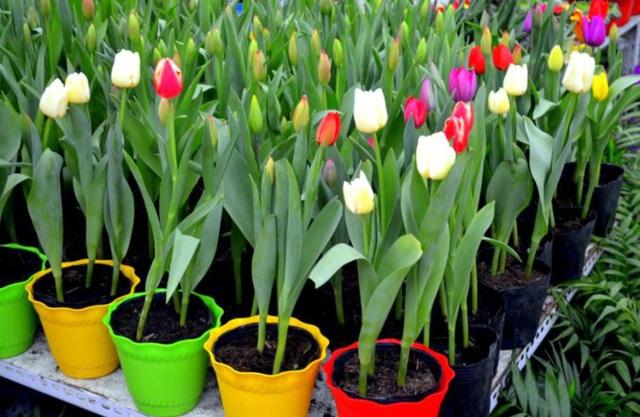5 loại hoa Tết đẹp nhưng cực độc, cần cảnh giác cao độ - Ảnh 4.