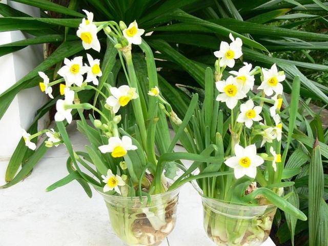 5 loại hoa Tết đẹp nhưng cực độc, cần cảnh giác cao độ - Ảnh 1.