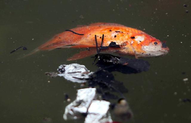 Hà Nội: Cá chép đỏ chết la liệt ở hồ sau khi người dân tiễn Táo quân về trời - Ảnh 4.
