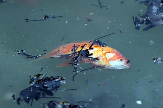 Hà Nội: Cá chép đỏ chết la liệt ở hồ sau khi người dân tiễn Táo quân về trời - Ảnh 5.