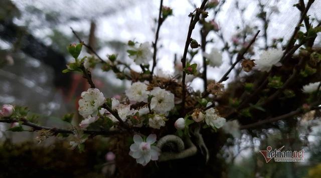 Kiêu hãnh nhất chợ hoa Tết, mai đá Sa Pa rêu bọc kín thân - Ảnh 11.