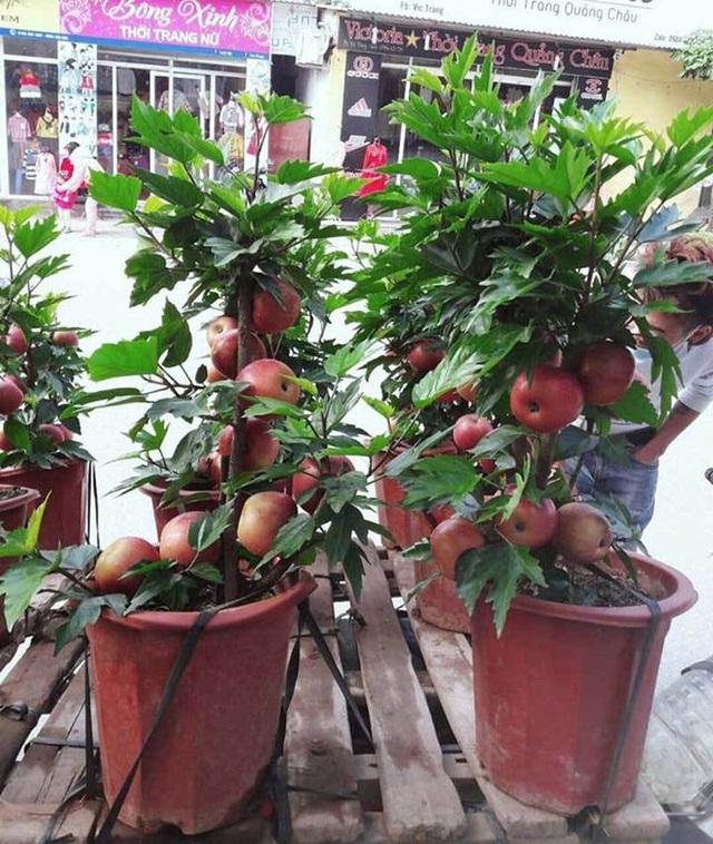 Đủ chiêu thức lừa đảo bán các loại cây hoa chưng Tết: Người tiêu dùng ba đầu sáu tay phòng bị - Ảnh 3.