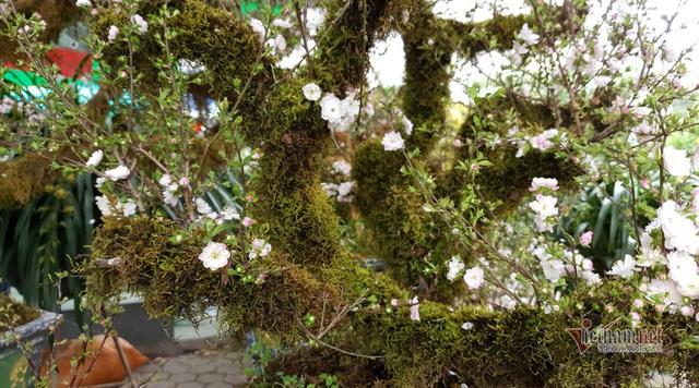 Kiêu hãnh nhất chợ hoa Tết, mai đá Sa Pa rêu bọc kín thân - Ảnh 10.