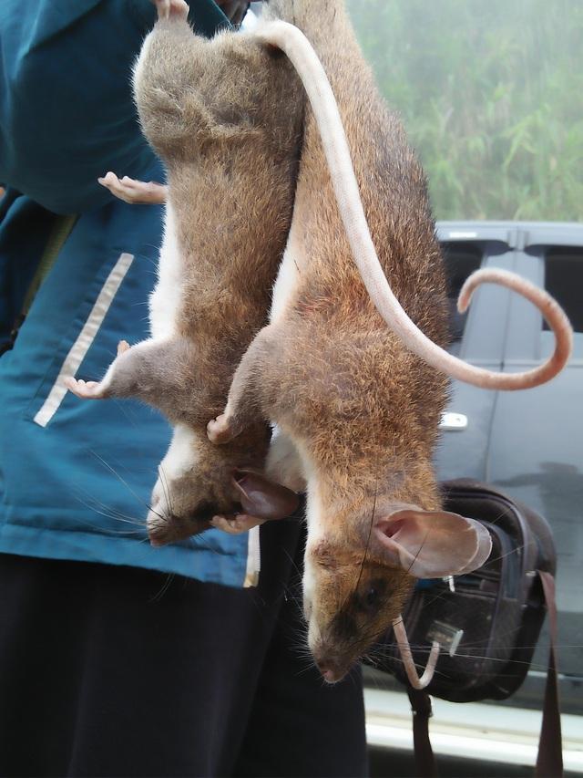 Xuân về, theo chân người dân bản địa săn chuột - Ảnh 5.
