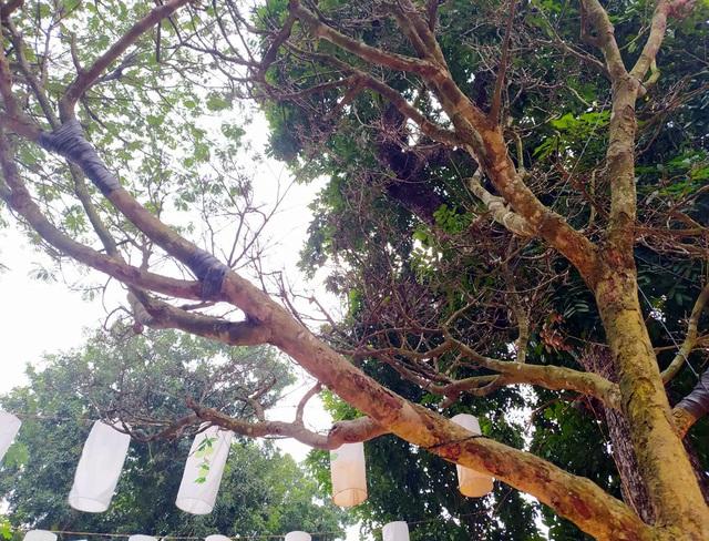 Hoàng hồn khi cây hoàng mai thơm tựa củi khô giá bằng siêu xe ở Hà Nội - Ảnh 2.