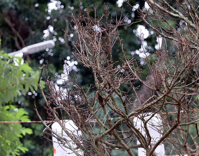 Hoàng hồn khi cây hoàng mai thơm tựa củi khô giá bằng siêu xe ở Hà Nội - Ảnh 4.