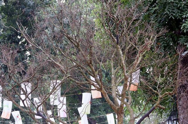 Hoàng hồn khi cây hoàng mai thơm tựa củi khô giá bằng siêu xe ở Hà Nội - Ảnh 5.