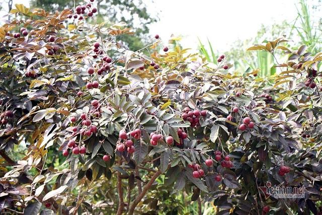 Cả vườn có 100kg nhãn tím, đánh ô tô xin mua nhưng bị từ chối - Ảnh 2.