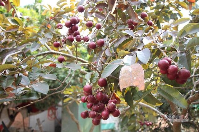 Cả vườn có 100kg nhãn tím, đánh ô tô xin mua nhưng bị từ chối - Ảnh 7.