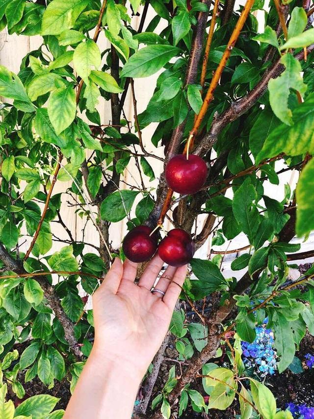 Vừa bận chăm con nhỏ nhưng Phạm Hương vẫn làm được một khu vườn trĩu cây ăn quả ở Mỹ - Ảnh 8.