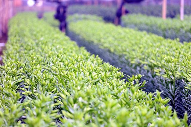 Hà Nội: Nông dân Tây Tựu tất bật thu hoạch hoa phục vụ Rằm tháng Chạp - Ảnh 1.
