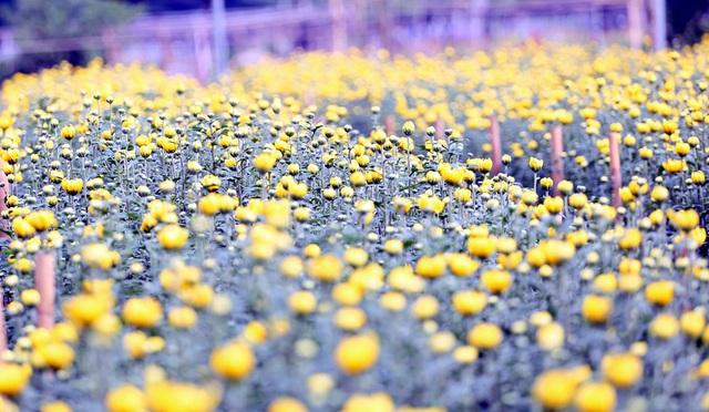 Hà Nội: Nông dân Tây Tựu tất bật thu hoạch hoa phục vụ Rằm tháng Chạp - Ảnh 4.