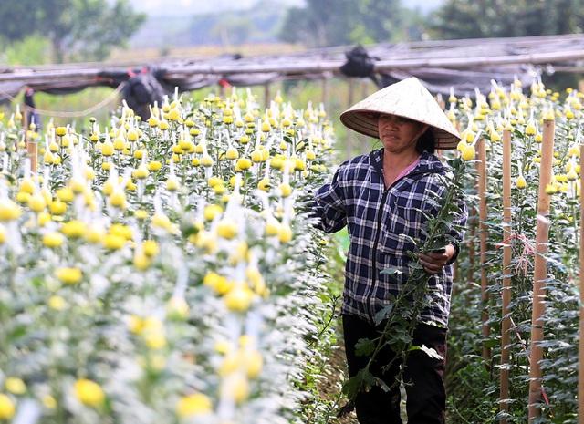 Hà Nội: Nông dân Tây Tựu tất bật thu hoạch hoa phục vụ Rằm tháng Chạp - Ảnh 5.