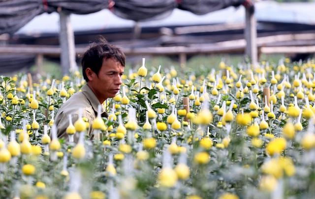 Hà Nội: Nông dân Tây Tựu tất bật thu hoạch hoa phục vụ Rằm tháng Chạp - Ảnh 6.
