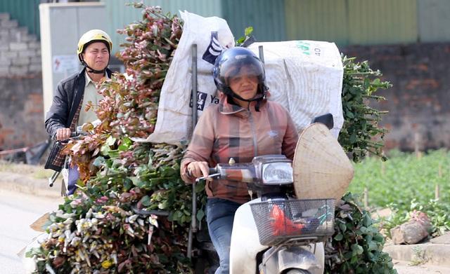 Hà Nội: Nông dân Tây Tựu tất bật thu hoạch hoa phục vụ Rằm tháng Chạp - Ảnh 7.