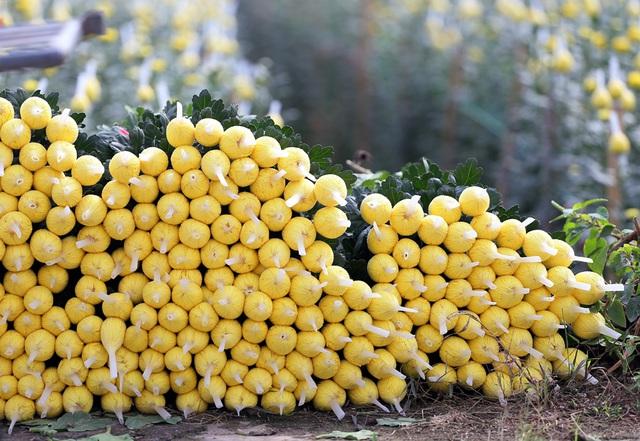 Hà Nội: Nông dân Tây Tựu tất bật thu hoạch hoa phục vụ Rằm tháng Chạp - Ảnh 8.
