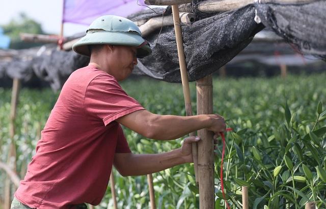Hà Nội: Nông dân Tây Tựu tất bật thu hoạch hoa phục vụ Rằm tháng Chạp - Ảnh 10.
