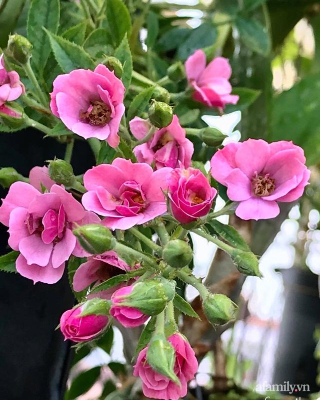 Sân thượng hoa hồng rực rỡ khoe sắc những ngày chớm thu của bà mẹ đảm ở Sài Gòn - Ảnh 3.