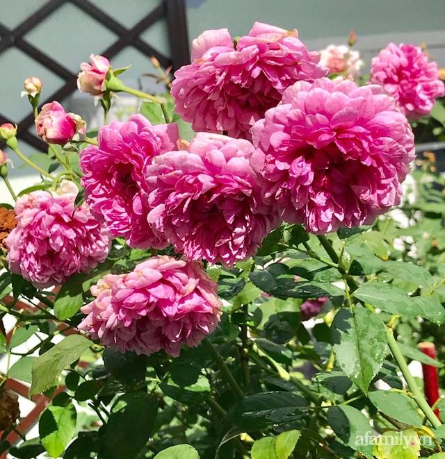 Sân thượng hoa hồng rực rỡ khoe sắc những ngày chớm thu của bà mẹ đảm ở Sài Gòn - Ảnh 12.