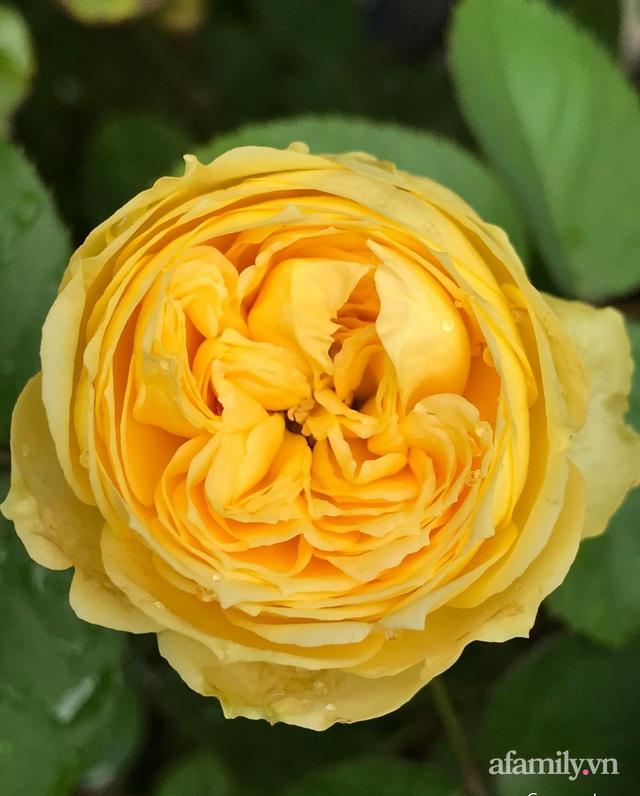 Sân thượng hoa hồng rực rỡ khoe sắc những ngày chớm thu của bà mẹ đảm ở Sài Gòn - Ảnh 13.