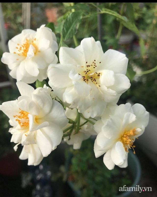 Sân thượng hoa hồng rực rỡ khoe sắc những ngày chớm thu của bà mẹ đảm ở Sài Gòn - Ảnh 14.