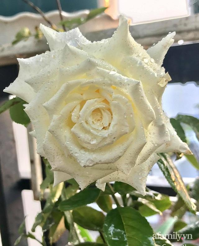 Sân thượng hoa hồng rực rỡ khoe sắc những ngày chớm thu của bà mẹ đảm ở Sài Gòn - Ảnh 15.