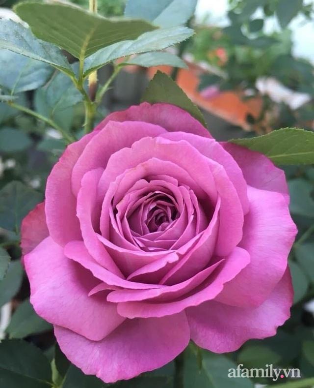 Sân thượng hoa hồng rực rỡ khoe sắc những ngày chớm thu của bà mẹ đảm ở Sài Gòn - Ảnh 16.