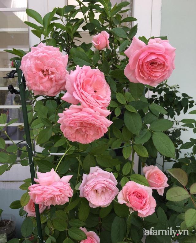 Sân thượng hoa hồng rực rỡ khoe sắc những ngày chớm thu của bà mẹ đảm ở Sài Gòn - Ảnh 17.