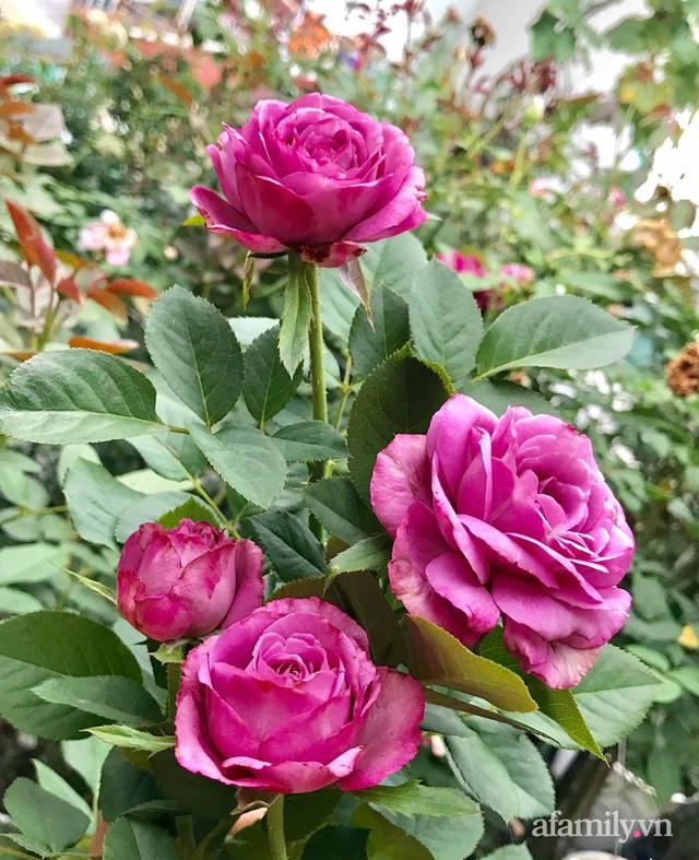 Sân thượng hoa hồng rực rỡ khoe sắc những ngày chớm thu của bà mẹ đảm ở Sài Gòn - Ảnh 18.