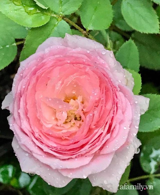 Sân thượng hoa hồng rực rỡ khoe sắc những ngày chớm thu của bà mẹ đảm ở Sài Gòn - Ảnh 19.