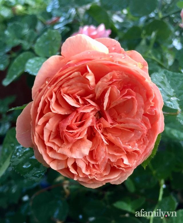 Sân thượng hoa hồng rực rỡ khoe sắc những ngày chớm thu của bà mẹ đảm ở Sài Gòn - Ảnh 20.