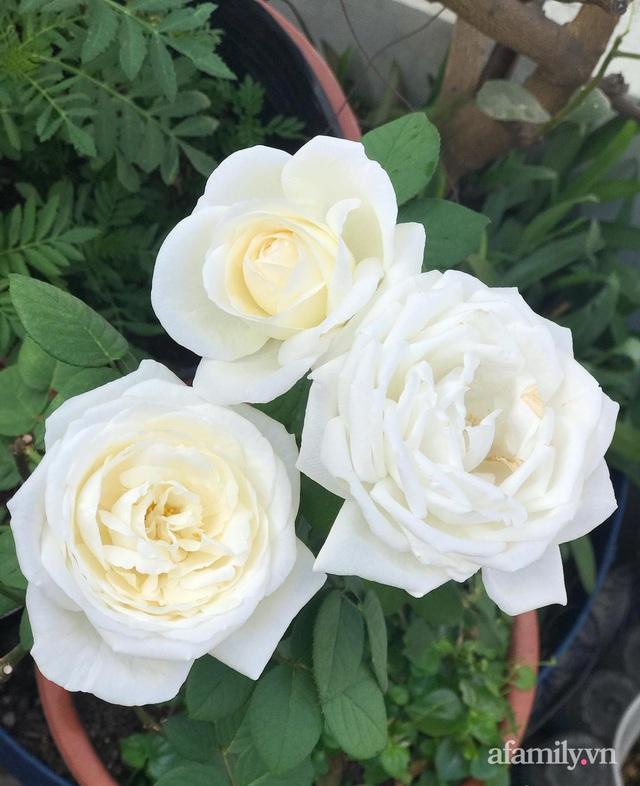 Sân thượng hoa hồng rực rỡ khoe sắc những ngày chớm thu của bà mẹ đảm ở Sài Gòn - Ảnh 21.