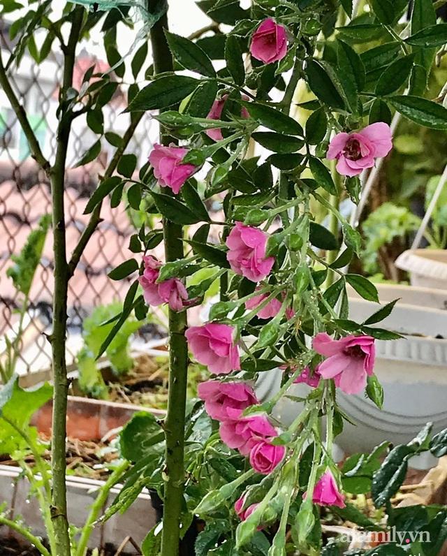 Sân thượng hoa hồng rực rỡ khoe sắc những ngày chớm thu của bà mẹ đảm ở Sài Gòn - Ảnh 4.
