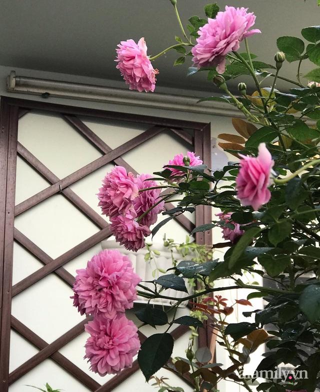 Sân thượng hoa hồng rực rỡ khoe sắc những ngày chớm thu của bà mẹ đảm ở Sài Gòn - Ảnh 22.