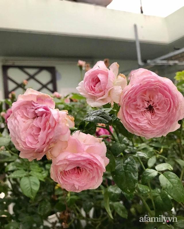 Sân thượng hoa hồng rực rỡ khoe sắc những ngày chớm thu của bà mẹ đảm ở Sài Gòn - Ảnh 24.
