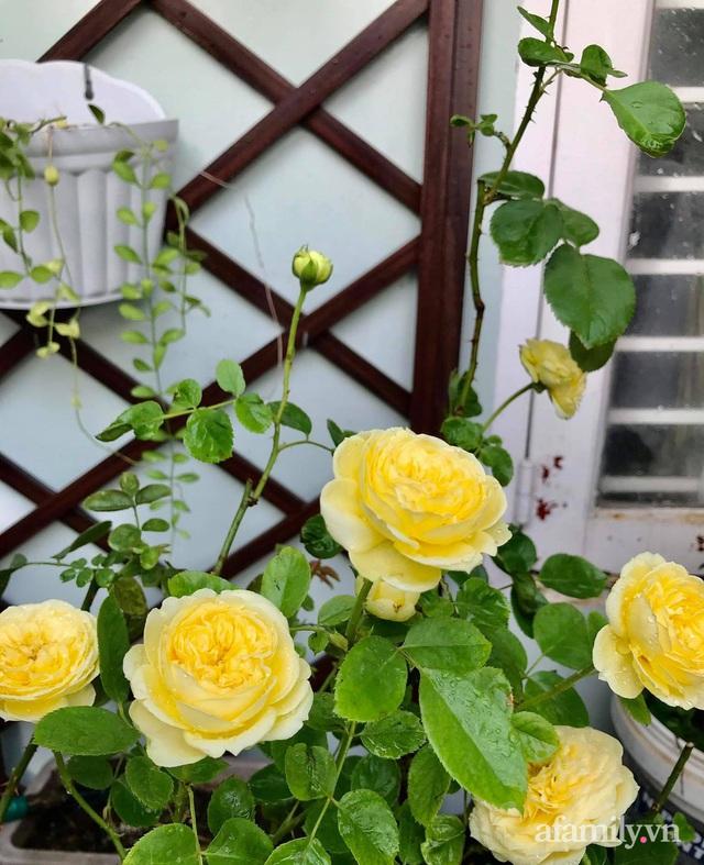 Sân thượng hoa hồng rực rỡ khoe sắc những ngày chớm thu của bà mẹ đảm ở Sài Gòn - Ảnh 25.