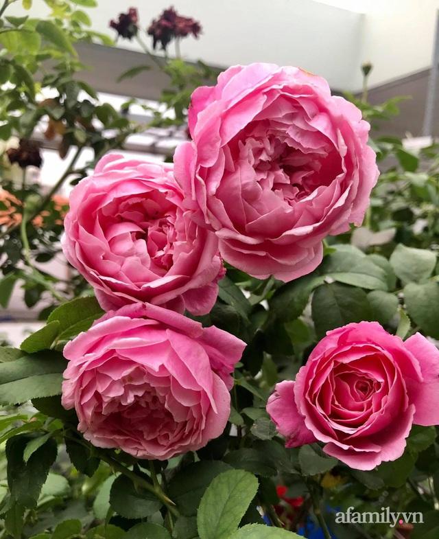 Sân thượng hoa hồng rực rỡ khoe sắc những ngày chớm thu của bà mẹ đảm ở Sài Gòn - Ảnh 26.