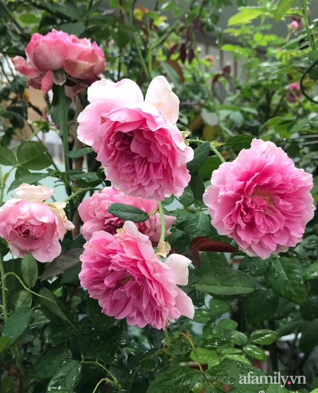 Sân thượng hoa hồng rực rỡ khoe sắc những ngày chớm thu của bà mẹ đảm ở Sài Gòn - Ảnh 27.